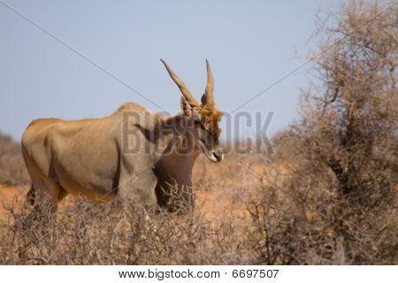 Male Common Eland - Taurotragus Oryx