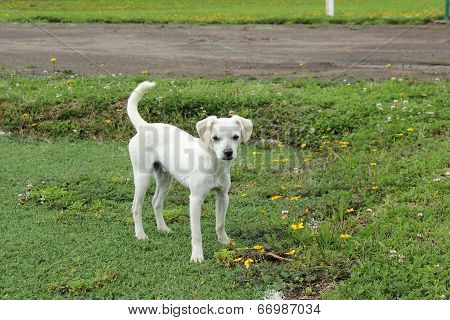 White Puppy in a Yard