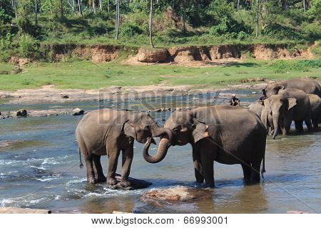 Two elephants embracing each other their trunks