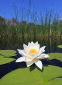 picture of day-lilies  - water lily on lake in nice day  - JPG