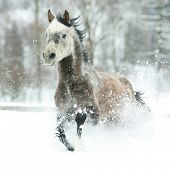 picture of arabian horse  - Gorgeous arabian horse running in a lot of snow - JPG