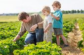 image of strawberry blonde  - father and two little sibling boys on organic strawberry farm in summer picking berries - JPG