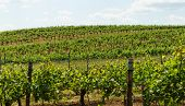 foto of tokay wine  - Beautiful landscape in the Tokay grapes  - JPG