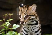 picture of ocelot  - Closeup of a male Ocelot against a blurred background - JPG
