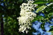 foto of elderberry  - Elderberry flowers and lemons on the table - JPG