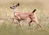 foto of blacktail  - a blacktail fawn running in a field - JPG