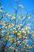 foto of dogwood  - White flowering dogwood tree  - JPG