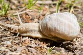 stock photo of escargot  - Burgundy snail edible snail escargot roman snail are all common names of Helix pomatia - JPG