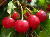 picture of cherry trees  - bunch of sour cherries on cherry tree branch - JPG