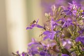 foto of lobelia  - closeup photo of lobelia flowers with insect shallow depth of field - JPG