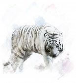 picture of albinos  - Watercolor Digital Painting Of White Tiger Portrait - JPG