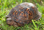 picture of turtle shell  - Turtle that is about to pull its head back into its shell - JPG