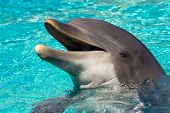 stock photo of bottlenose dolphin  - The dolphin in the water - JPG