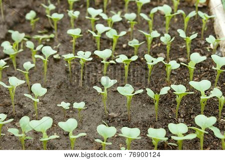 Cabbage Young Plants