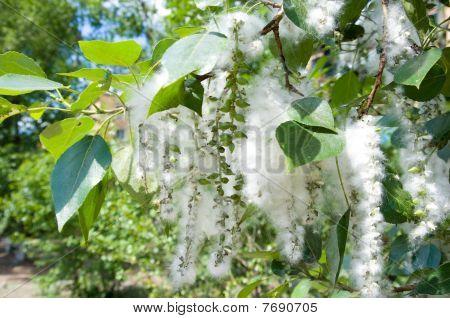 Poplar Seed Tufts