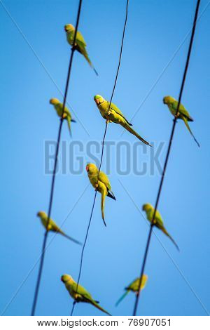 Green Indian Ringnecked Parakeet parrots on the wire