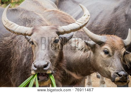 Two Asian Water Buffaloes