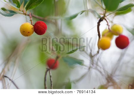 Arbutus unedo yellow and red berries in a moorland