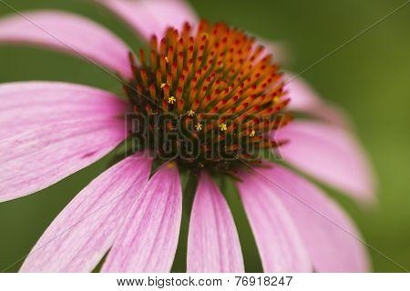 Echinacea Coneflower Closeup