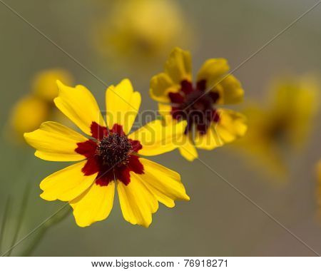 Gold and Burgundy Coreopsis Wildflowers