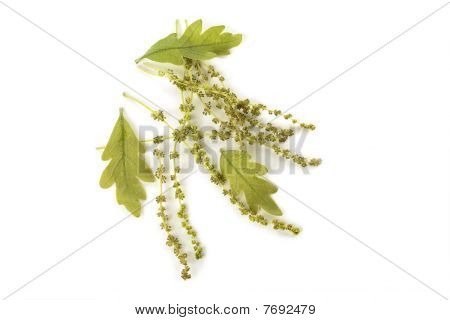 Oak Catkins And Leaves
