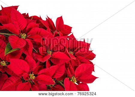 Red Poinsettia Flower (euphorbia Pulcherrima)