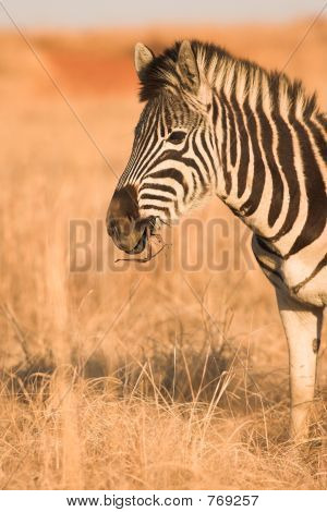 Zebra #4
