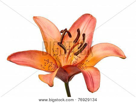 Beautiful Lilies On A White Background