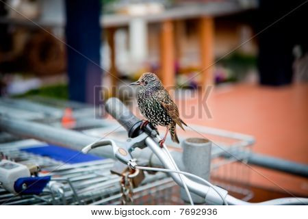 Varied Starling Seated On A Bicycle Handle Bar