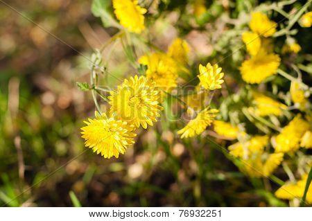 Flower Astra Sp.