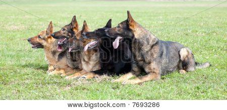 Five German Shepherds