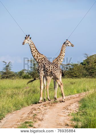 Giraffes in the savanna in Africa