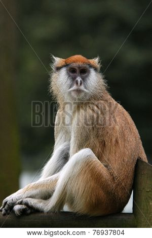 Patas monkey (Erythrocebus patas), also known as the Hussar monkey.