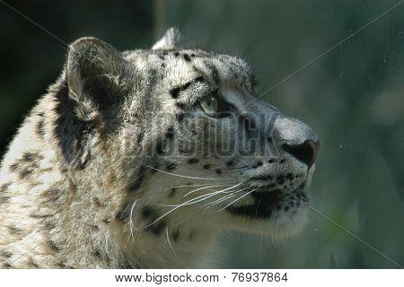 Snow leopard (Panthera uncial).