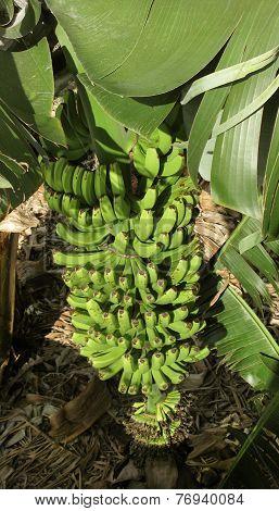 Banana Tree In Spain. Canary Islands. La Palma