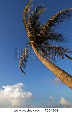 Wind Blown Palm