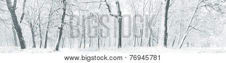 Panorama of winter forest with trees covered snow