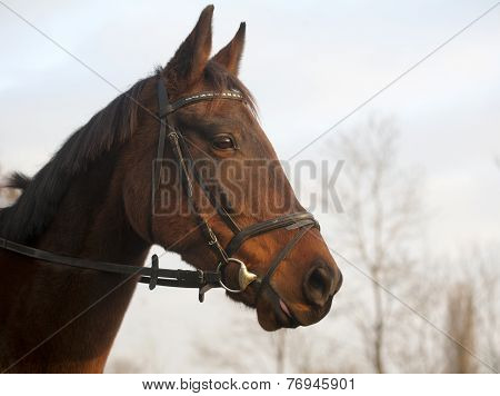 Furioso breed horse head in meadow