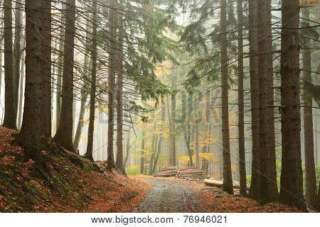 Path through coniferous forest
