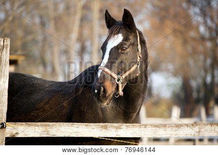 Purebred bay horse standing autumn rural scene