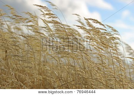 Yellow Autumn Grass On Blue Sky Background