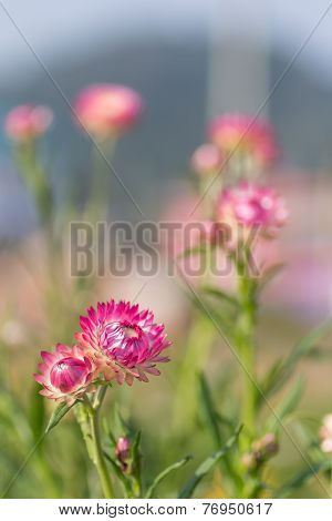 Pink Strawflower
