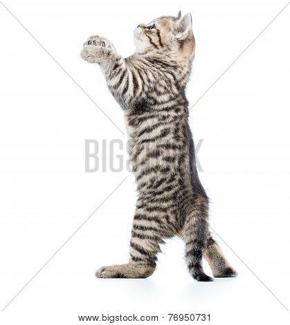playful scottish pet kitten looking up