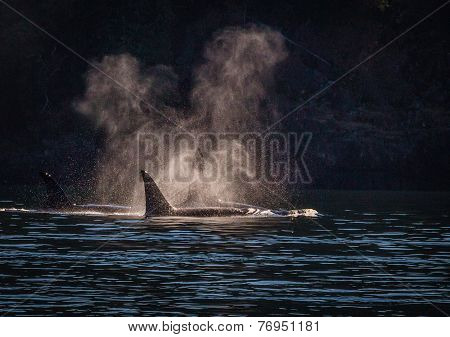 Killer Whales hunting seals