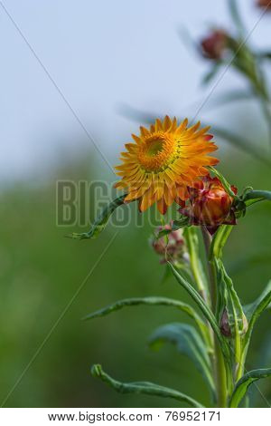 Yellow Strawflower