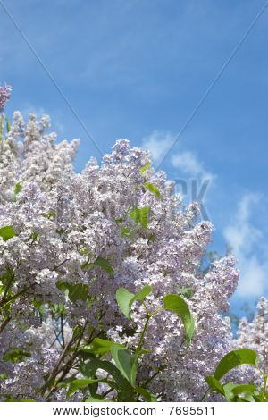 Blossoming Bush Of Lilac Against Blue Sky