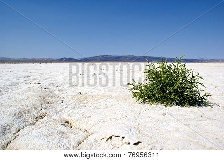 Tiny Green Shrub On A Barren Salt Flat