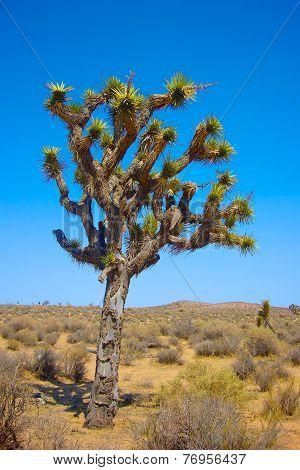 Single Joshua Tree In Desert