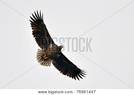 white tailed eagle (haliaeetus albicilla) flying