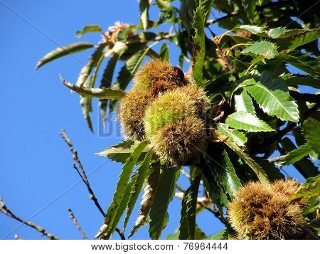 Chestnuts Hanging On The Tree